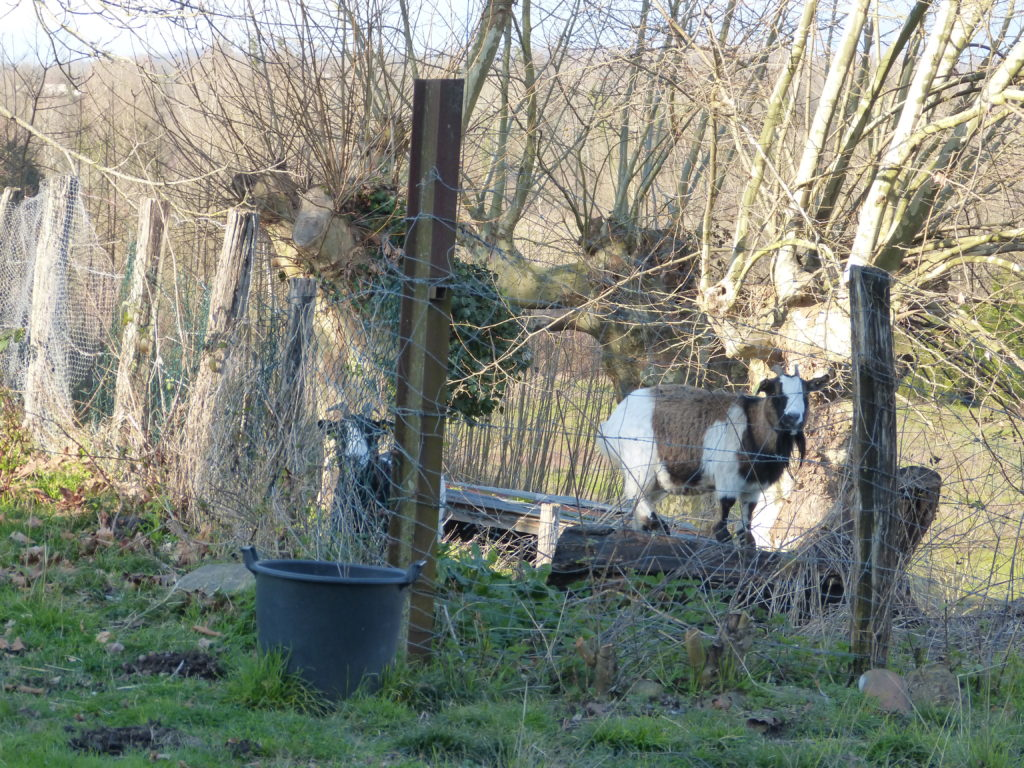 Goats with plane trees